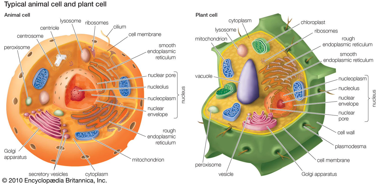 This is a picture of Monster Picture of Plant Cell and Animal Cell and Label